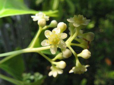 cc wikipedia, blüte cinnamomum camphora, kenopei, osaka 2008