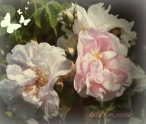 rosa damascena celsiana, gernot katzer, beschr ,, var 1, marta