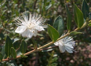 """Bltüe """"gemeine Myrte"""", Myrtus communis L., Gaiancarlodessi 2006, wikipedia cc,die blüten und blätter der Andenmyrte sind beschreibungen etwas kleiner und feiner (stellvertreten, da leider kein bild vorhanden)"""