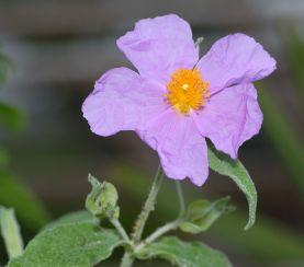 Blüte Cistus incanus, Tee wird aus dem geschnittenen Kraut hergestellt, Aka 2005, wikipedia cc