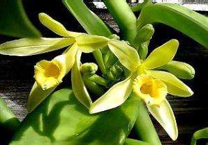 Vanilla planifolia, Michael Doss, wikipedia cc