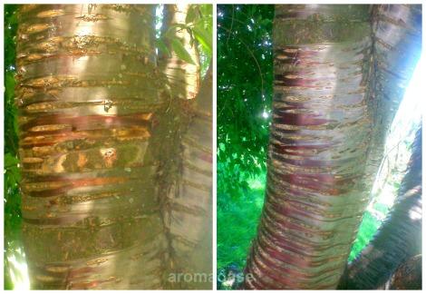meiner Vermutung nach könnte diese eine Prunus maackii Rupr. / Amur- od. Traubenkirsche sein - (oder eine Mahagoni-Kirschen, Prunus serrula Franch. erscheinen mir mit einem schmäleren, Stamm, glänzend-glatterer Rinde; auf beiden Bildern ist derselbe Baum zu sehen; links Stamm, rechts abzweigender Ast; zum Moment der Aufnahmen waren die Bäume ohne Bezeichnung