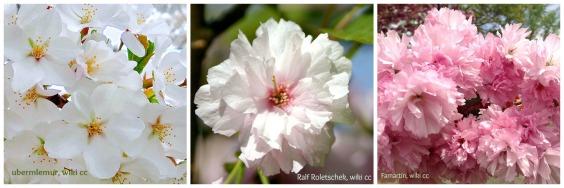 inspirierender zierkirschen zauber danke an alle rosa. Black Bedroom Furniture Sets. Home Design Ideas