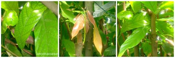 Theobroma cacao L., reifere Blätter, mitte rötliche junge Blätter, rechts junger Baum